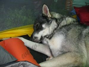 Birka njöt verkligen livet i fjällen och sov gott mellan husse och matte