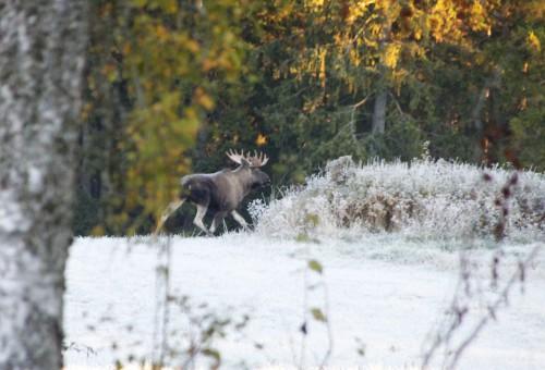 Grann tjur som vi hoppas möte lite senare i höst när jakten är igång