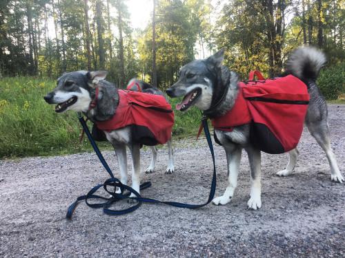 Lagom tunga klövjeväskor och en rejäl promenad i skogsterräng är utmärkt träning inför jaktensäsongen